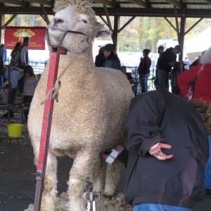 Sheep Shearing NYS Sheep and Wool