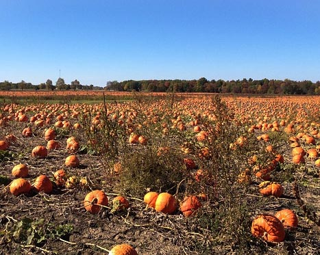 pumpkinsfield