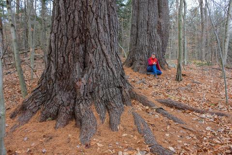 Giant White Pines