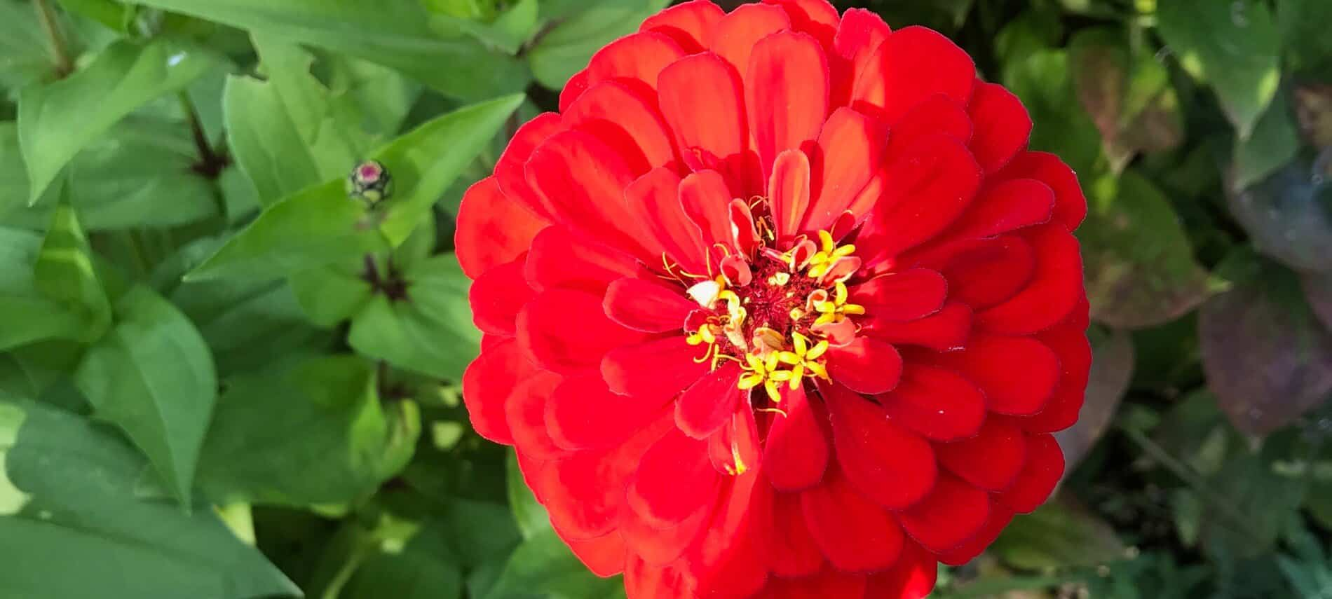 One large red flower with many small petals and yellow center amidst green leaves