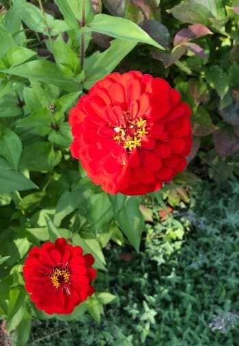 Two full red flowers with yellow centers amidst green leaves